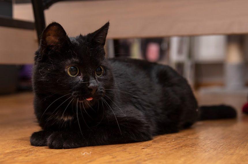 Erään ensikodin kissojen kesyyntymiskokemuksia
